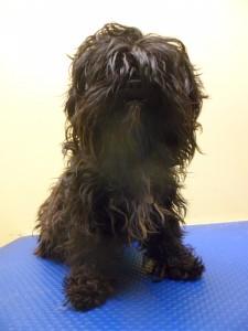 Matted dog - pre groomed Shih Tzu