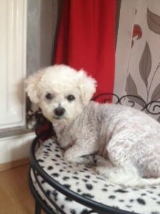 Millie the Bichon in Norton Cross