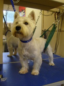 Westie being Groomed, Warrington, Cheshire